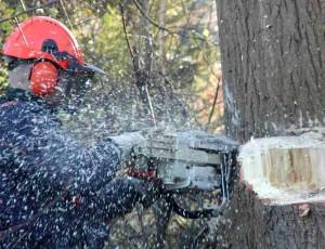 Mann fällt Baum mit Motorsäge.