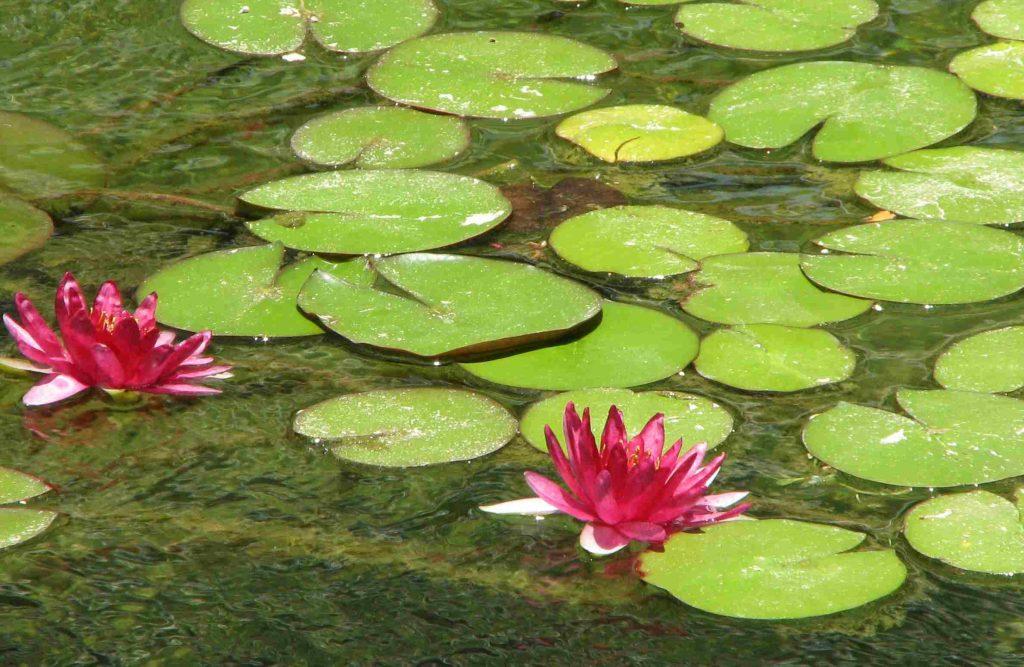 Gartenteich u2013 Erst mit Pflanzen wird er richtig schön Dein Bauguide