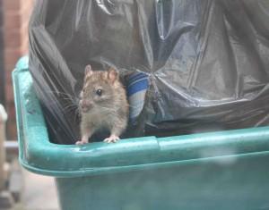 Eine Ratte schaut aus dem Müllcontainer.