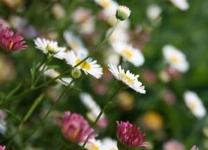 Gänseblümchen im Garten.