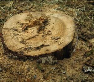 Baumstumpf nach der Baumfällung.