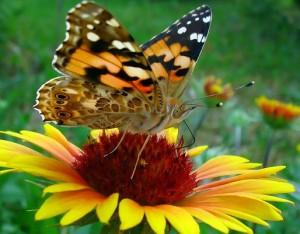 Schmetterling sitz auf einer gelben Blüte.