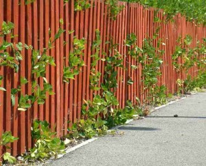Blätter wachsen zwischen den Latten eines roten Holzzauns.