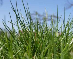Grüner Rasen vor blauem Himmel.